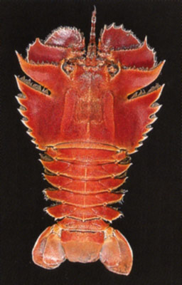 Smooth Fan Lobster, Ibacus brucei.