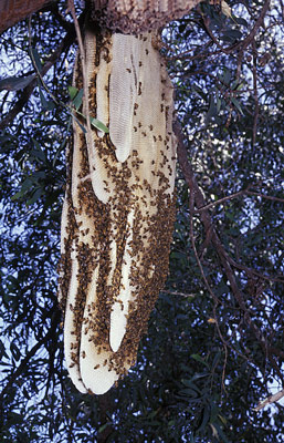 An exposed honeybee hive attached to the branch of a tree.