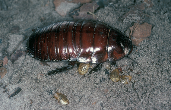 Giant burrowing cockroach