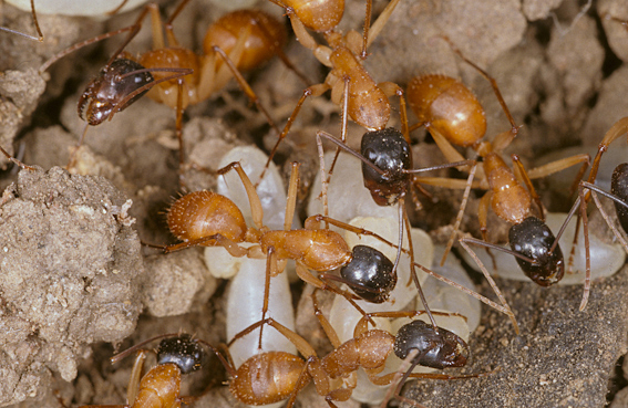 Sugar ants with their larvae, Camponotus eastwoodi