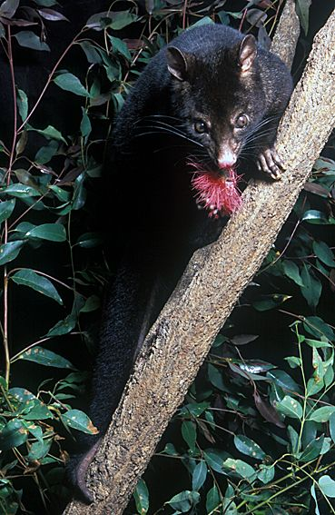 Short-eared Mountain Possum