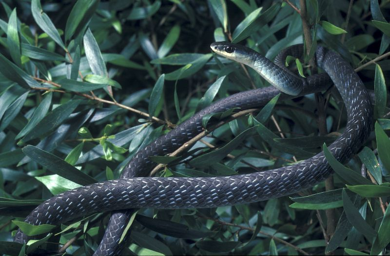 Green Tree Snake (Dendrelaphis punctulata)