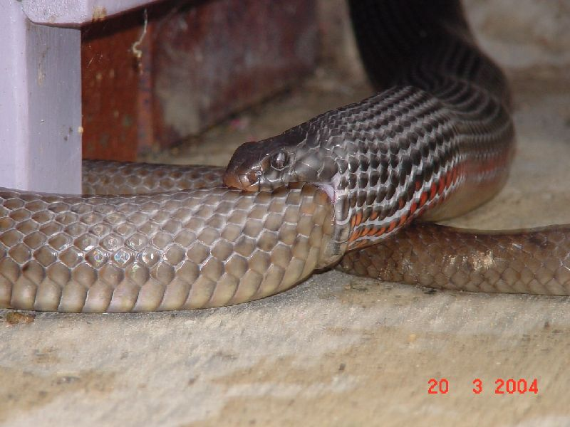 Red-bellied Black Snake (Pseudechis porphyriacus) eating an Eastern Brown Snake (Pseudonaja textilis)