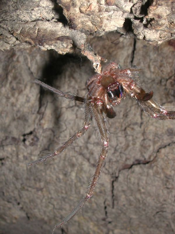 "modern spiders Nor is it really a ""transitional form"" between an ancestral creature with a tail and  modern spiders, because already at 100 million years ago we."