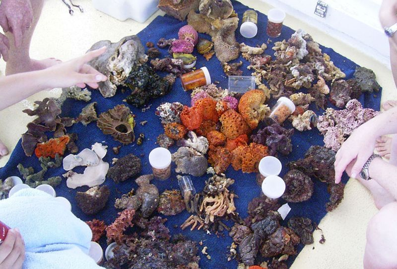 Sponges collected by the Queensland Museum from a dive on the Great Barrier Reef.